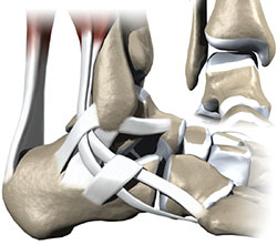 Ankle Structure, Univeristy Foot and Ankle Institute